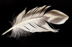 Feather on a black background Royalty Free Stock Image