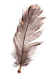 Feather. Of black grouse on the white background Stock Image