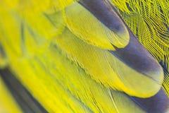 Feather of Black-headed Bulbu Stock Photos