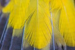 Feather of Black-headed Bulbu Stock Photo