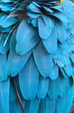 Feather of a blue macaw parrot. Stock Photo