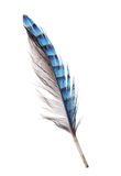 Feather with blue striped and grey sides. Variegated blue feather isolated on white background Royalty Free Stock Image