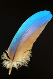 Feather of Blue-and-yellow Macaw Stock Images