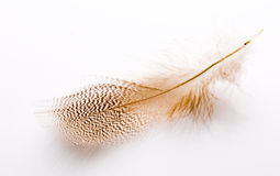 Feather. Royalty Free Stock Images
