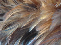The feather. Of a cock Royalty Free Stock Photography