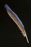 Feather of Collared Kingfisher Royalty Free Stock Images