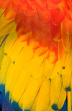 Feather colors - red and blue and yellow Stock Image