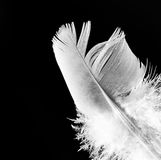 Feather. Detail of a white feather on a black background Royalty Free Stock Photos