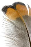 Feather details. A background of the macro view of a Pheasant feather Stock Photo