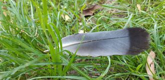 Feather of a dove fallen from the sky royalty free stock photo