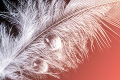 A feather with a drop of water macro. Close up in the natural color of the living coral - the color of the year 2019 royalty free stock photography