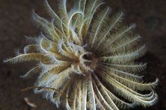 Feather Duster Worm Stock Photo