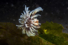 Feather Duster Worm Royalty Free Stock Photography