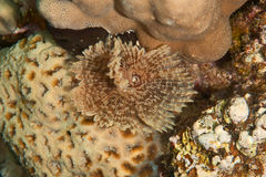 Feather duster worm Stock Photography