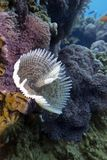 Feather duster worm on the bottom of red sea Stock Photo