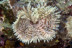 Feather duster worm (sabellastarte indica) in the Red Sea. Stock Photos