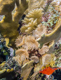 Feather Duster Worms Royalty Free Stock Images