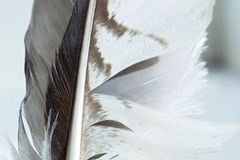 Feather of an eagle Royalty Free Stock Photo