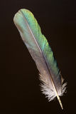 Feather of Eclectus Parrot Stock Photo
