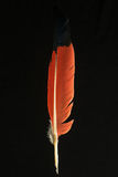 Feather of eudocimus ruber Scarlet ibis Royalty Free Stock Photo