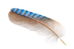 Feather of a Eurasian jay on white Royalty Free Stock Images