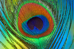 Feather Eye. Macro image of a peacock feather Stock Photography