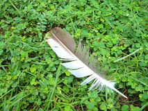 Feather fall on green fresh grass Stock Photo
