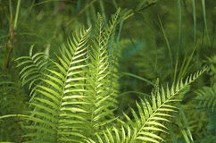Feather fern Royalty Free Stock Photography