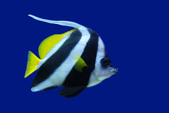Feather-Fin Bullfish or Bannerfish. Feather-Fin Bullfish - Bannerfish - Heniochus acuminatus  on blue background Royalty Free Stock Images