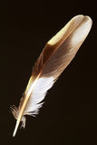 Feather of Forest Wagtail Royalty Free Stock Photo