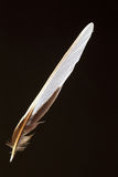 Feather of Forest Wagtail Stock Photo
