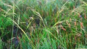 Feather-grass παιχνίδι βημάτων στον αέρα απόθεμα βίντεο