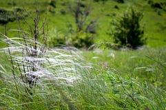 Feather-grass στεπών Στοκ Εικόνα