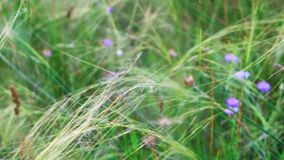 Feather-grass τρεμούλιασμα στα μικρά ιώδη λουλούδια αέρα στο θολωμένο υπόβαθρο απόθεμα βίντεο