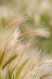 Feather-grass Royalty Free Stock Image