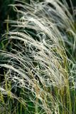 Feather-grass Stock Photo