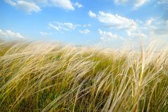 Feather-grass Royalty Free Stock Photography