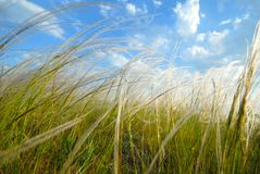 Free Feather-grass Stock Photography - 2602152