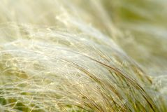 Feather-grass Stock Photography