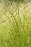 Feather grass Royalty Free Stock Photos