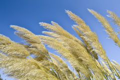 Feather grass against the blue sky Stock Images