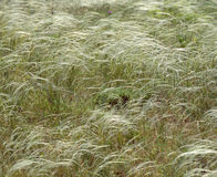 Feather grass background Stock Photo