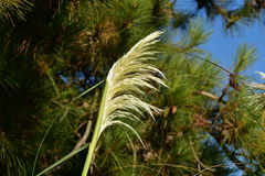 Feather grass. Beautiful bloom grass, close-up, color, decorative for dry bouquet, ecology, feather grass on the background of coniferous trees, gives the Stock Photography
