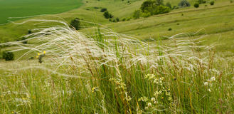 Feather grass Royalty Free Stock Images