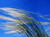 The feather grass blossoms. I blossomed in steppes white color a feather grass grass Stock Images