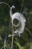 Feather grass_close-up Royalty Free Stock Photo