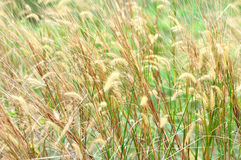 Feather grass Royalty Free Stock Photo