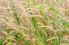 Feather grass Stock Images