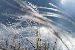 Feather-grass de florescência Imagem de Stock