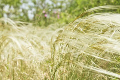 Feather grass is developing Stock Images